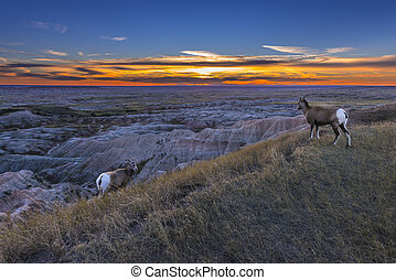 Badlands Bighorn - Bighorn Sheep at Sunset Badlands National...