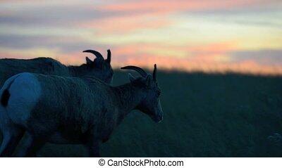 Badlands Bighorn Sheep at Sunset - Bighorn Sheep against...