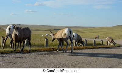 Badlands Bighorn Sheep - Bighorn Sheep near the road...