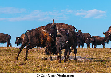 Badlands Bison Looking towards the camera
