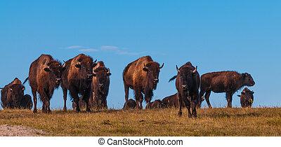 Badlands Bison Walking Towards the Camera Panoramic Horizontal
