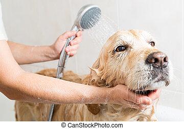 badning, a, hund, guldgul apportör