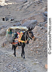 Bag carrying mule - Mule grazind grass