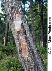 Bag of Resin - Bags attached to a pine tree collecting the...