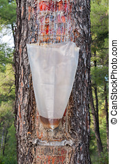 Bag of Resin - Bag attached to a pine tree collecting the...