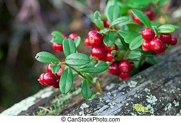 bagas, closeup, arbusto, lingonberry