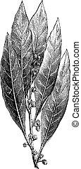 bahía, laurel, o, nobilis de laurus, vendimia, grabado