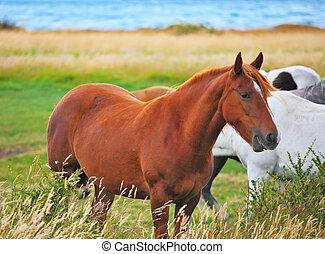 bahía, y, caballo blanco, pasto