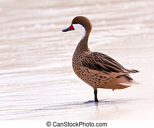 Bahama duck on sandy beach - White-cheeked pintail or Bahama...