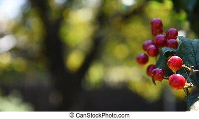 baies, branche, gros plan, baie, viburnum, arbre., arbre, rouges, pendre, soleil, light., vue