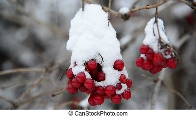 baies, viburnum, wintertime., couvert, neige