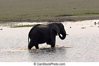 baigner, éléphant