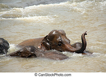 baigner, éléphants