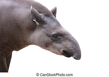 Baird's tapir face closeup shot isolated on white. This is the largest land mammal in central and south america and is a herbivore. These animals are in danger of extinction because of humans.