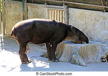 Baird's tapir in the zoo, closeup of photo