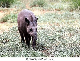 Baird's tapir walking through forest searching for food....