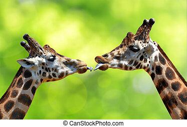 baisers, girafes