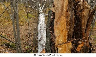 baissé, forêt, arbre, bouleau, automne
