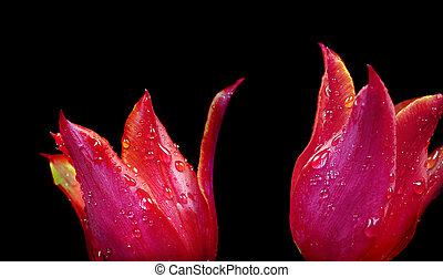 baisses eau, rouges, tulipes, close-up., noir