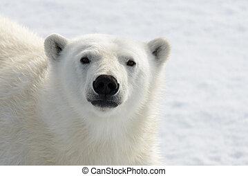 baissespekulant, auf, (ursus, polar, kopf, maritimus), ...