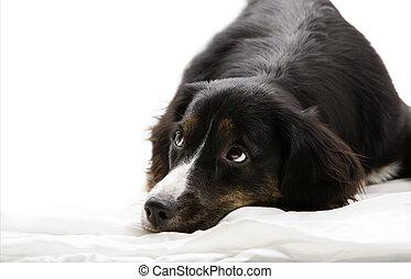baixo, -, cão, mentindo