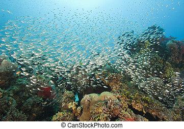bajío, de, glassfish, en, un, barrera coralina