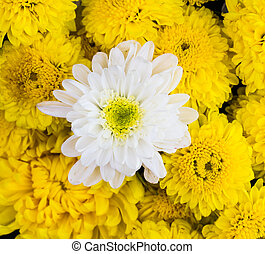 bakground with chrysanthemums flowers