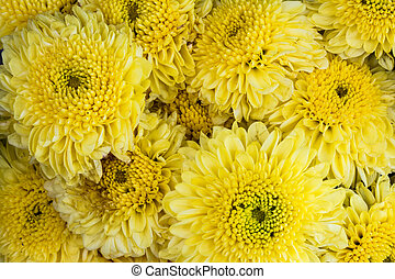 bakground with yellow chrysanthemums flowers