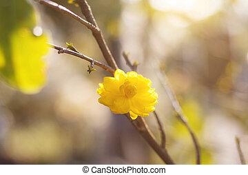 bakgrund., blomningen, naturlig, gul