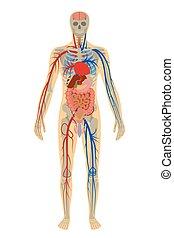 bakgrund, illustration, anatomi, mänsklig, vit, man