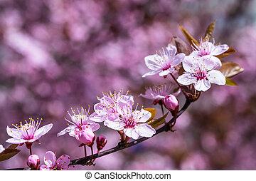 bakgrund, med, körsbär, blomningen