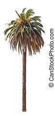 bakgrund., palm, vit, träd, isolerat