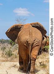 baksidaen beskådar, av, en, elefant
