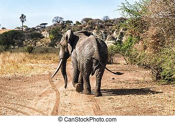 baksidaen beskådar, elefant