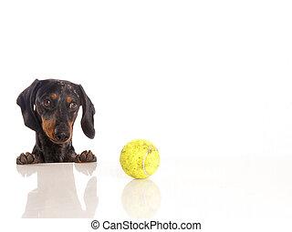 bal, tennis, tiger, achtergrond, witte , dachshund