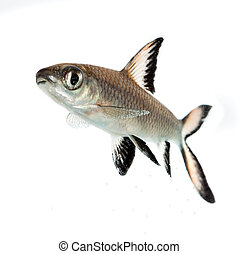 Bala Shark or Silver Shark (Balantiocheilus melanopterus) isolated on white