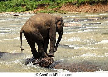 Young Lankesian Elephant (Elephas Maximus Maximus) Balancing on a Stone in Ma Oya River, Pinnawela, Sri Lanka