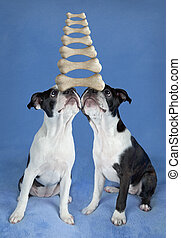 Balancing Boston terrier pups - Two Boston terrier puppies...