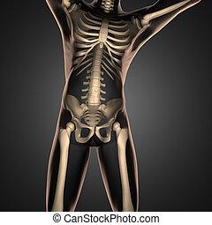 balayage, radiographie, humain, os
