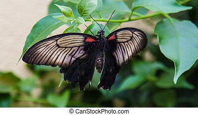 balck butterfly