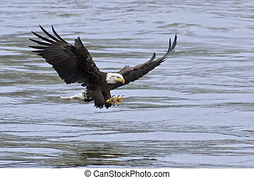 Bald Catching Fish - A Bald Eagle aproaches the water with...