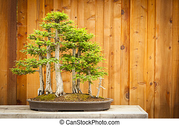 Bald Cypress Bonsai Tree Forest Against Wood Fence -...