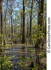 Bald Cypress trees in the swamps of First Landing State Park, located in Virginia Beach, Va.
