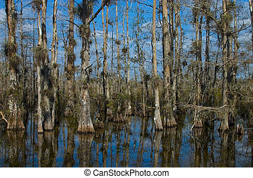 Bald Cypress Trees - everglades, florida
