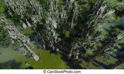 Bald cypresses in the swamp in Florida