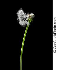 Bald dandelion