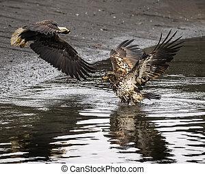 Bald eagle adult and juvenile - Bald Eagles