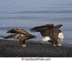 Bald Eagle adult and juvenile fish in talon - Bald Eagles