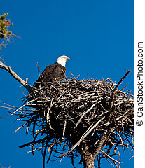 Bald Eagle - Bald eagle perch on is nest