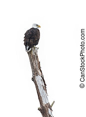 bald eagle bird